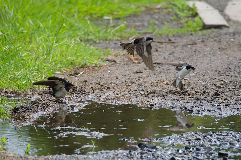 Swallows and House Martins