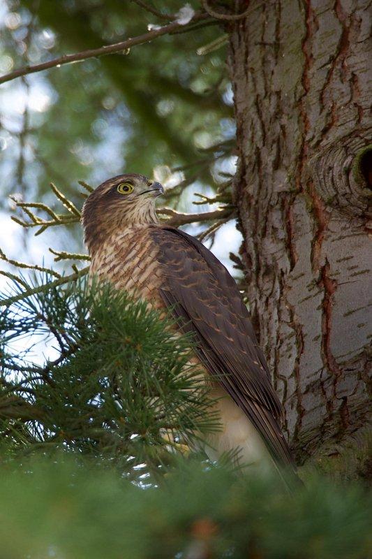 Sparrow Hawk 4